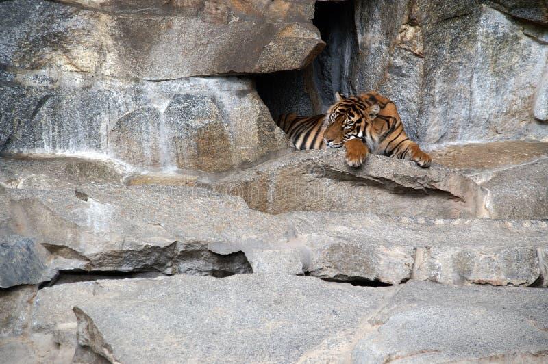 tigre de reclinación 2 fotos de archivo