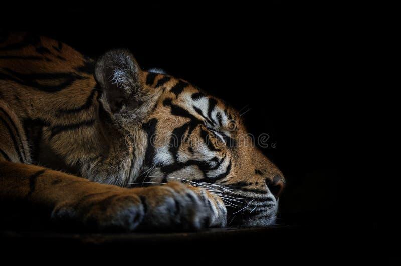 Tigre de sommeil image libre de droits