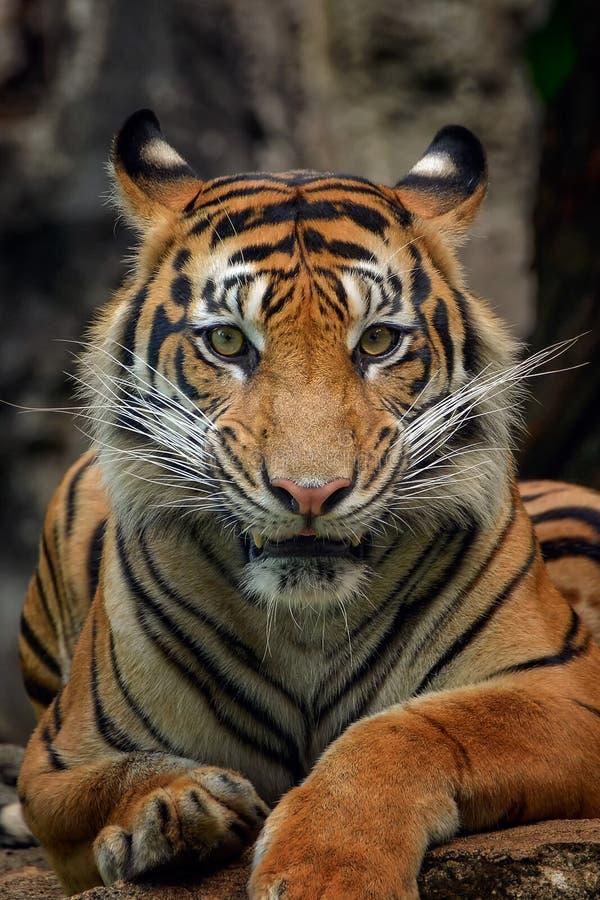 Tigre de Sumatra fotos de archivo libres de regalías