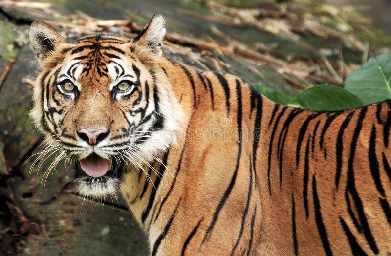Tigre de Sumatra imagem de stock royalty free