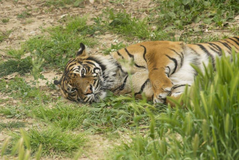Tigre de Sumatra photo stock