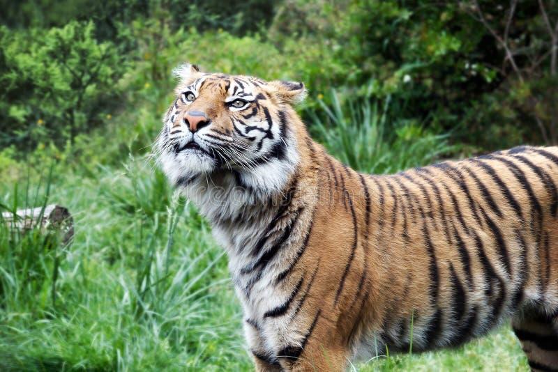 Tigre de Sumatra, opinión del perfil fotos de archivo libres de regalías
