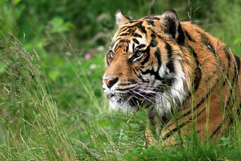 Tigre de Sumatran imagen de archivo
