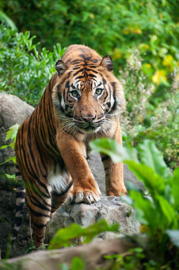 Tigre de Sumatran fotografia de stock