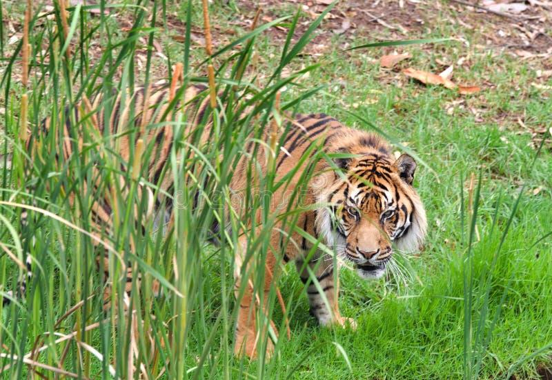 Tigre de Sumatran foto de stock royalty free