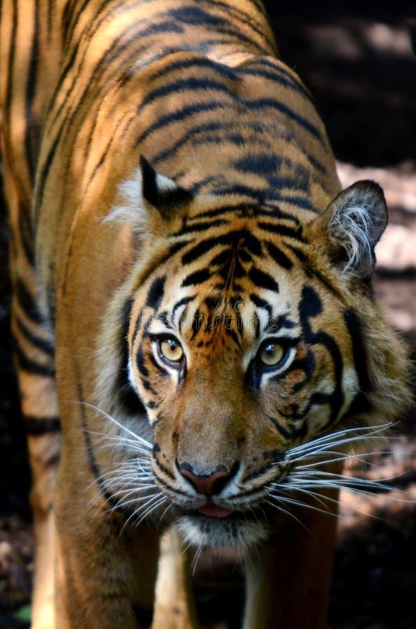 Tigre de Sumatran imagem de stock