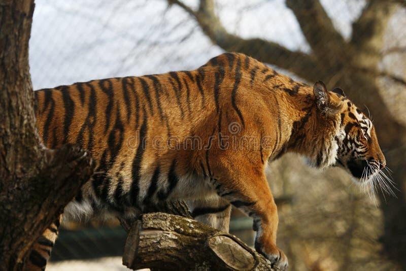 Tigre de Sumatran imagens de stock