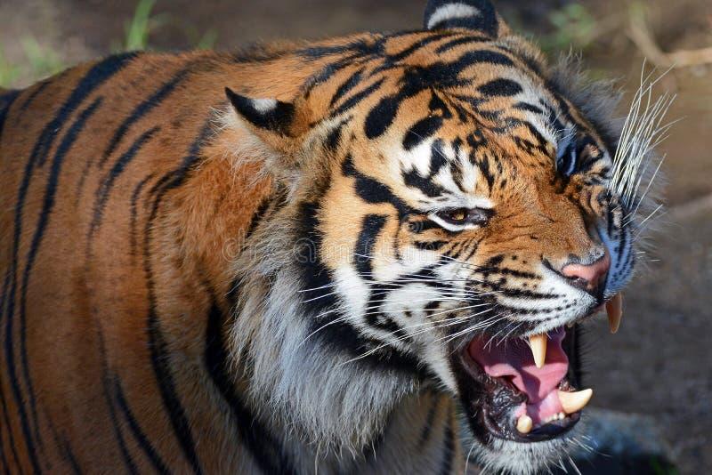 Tigre de Sumatran photographie stock