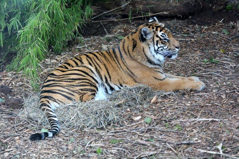 Tigre de Sumatran que encontra-se para baixo no corpo completo à terra imagens de stock royalty free