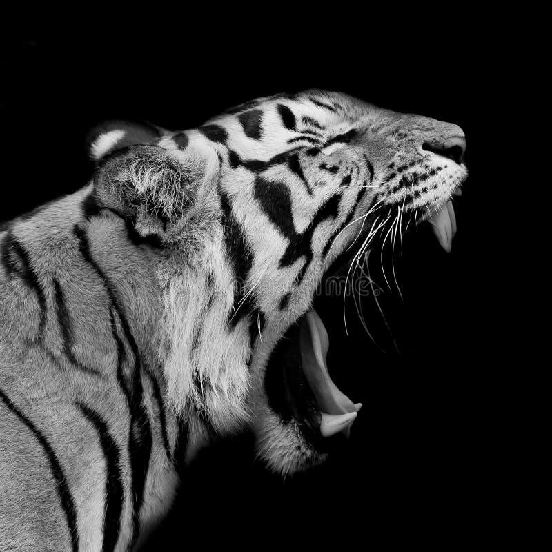 Tigre de Sumatran que ruje imagem de stock
