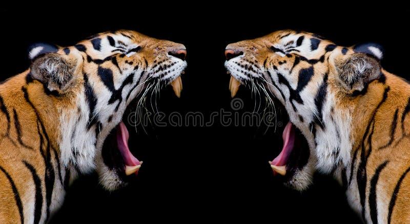 Tigre de Sumatran que ruje fotografia de stock