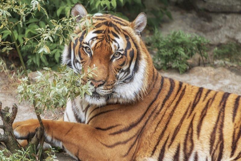 Tigre de Sumatran, sumatrae del Tigris del Panthera, 'pequeñas 'mentiras del gato grande El origen es isla indonesia de Sumatra R fotografía de archivo libre de regalías