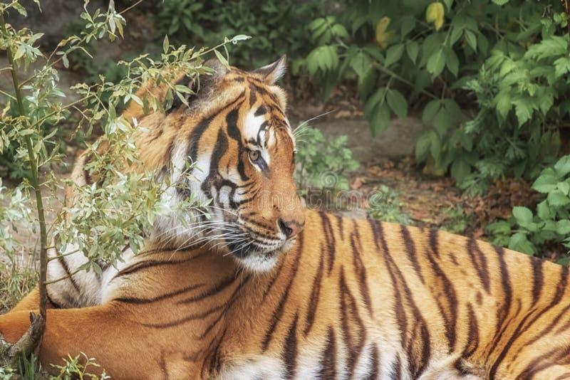 Tigre de Sumatran, sumatrae del Tigris del Panthera, pequeñas 'mentiras del gato grande El origen es isla indonesia de Sumatra Re imagen de archivo