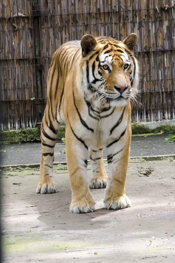Tigre de Tiberian fotografia de stock royalty free