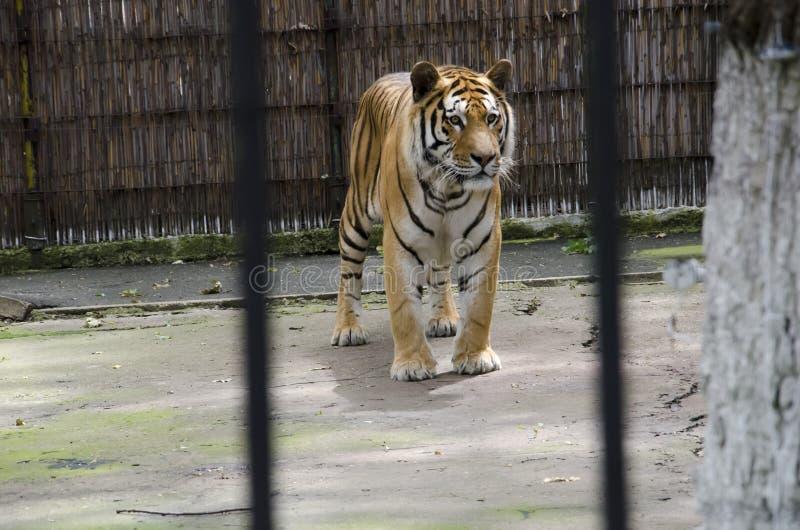 Tigre de Tiberian fotos de stock royalty free