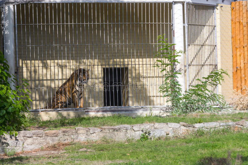 Tigre de tueur dans le zoo de Wroclaw image stock