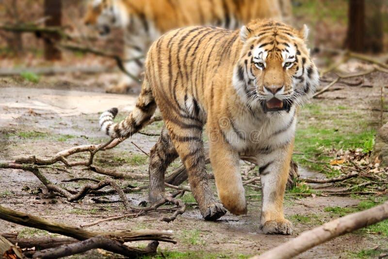 Tigre de vagabondage photos libres de droits