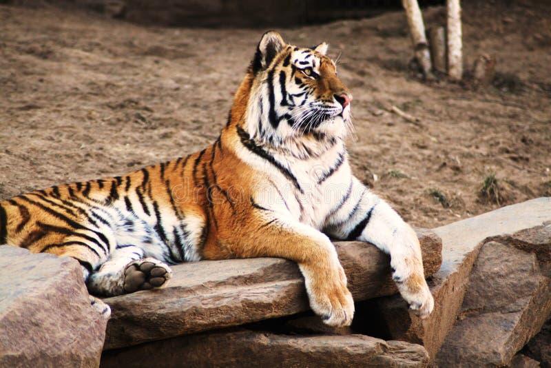 Tigre de zoo photo libre de droits