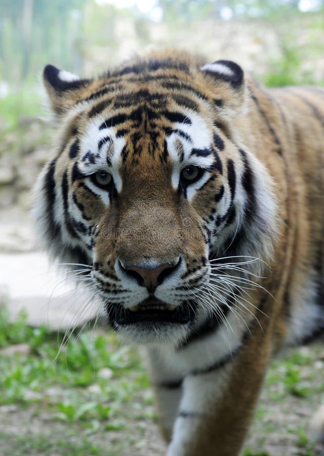 Tigre del Amur immagini stock