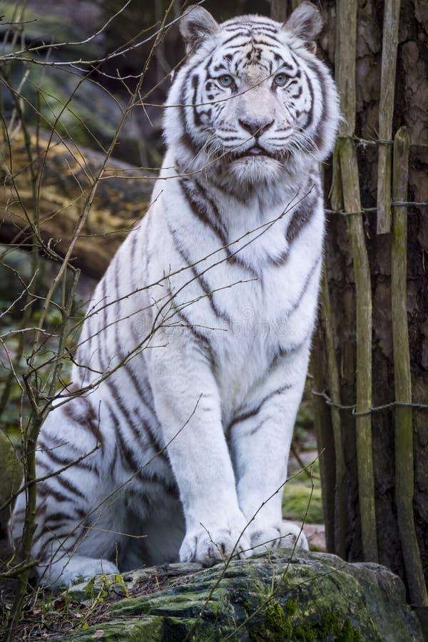 Tigre del blanco Nevado Bengala fotografía de archivo libre de regalías