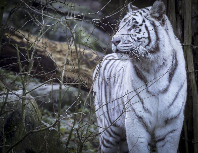 Tigre del blanco Nevado Bengala imagen de archivo