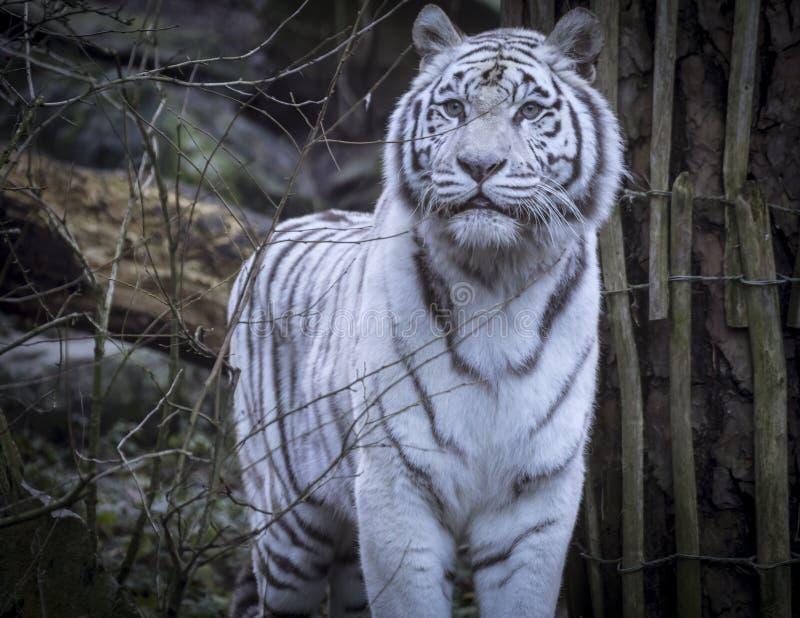 Tigre del blanco Nevado Bengala foto de archivo libre de regalías