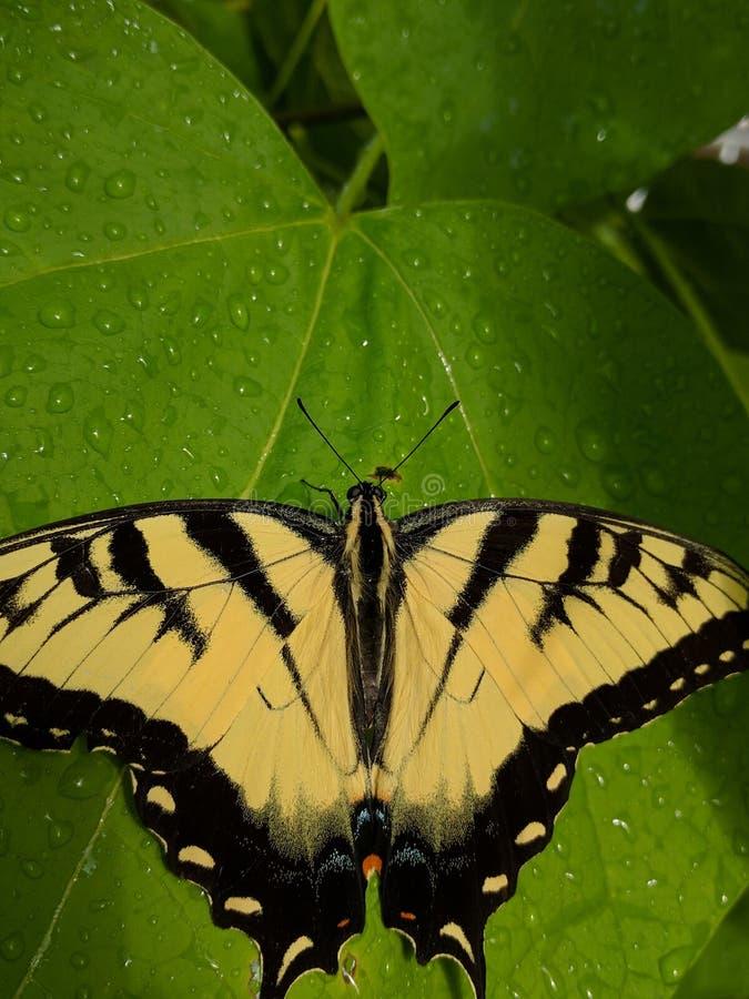 Tigre del este Swallowtail imagen de archivo libre de regalías