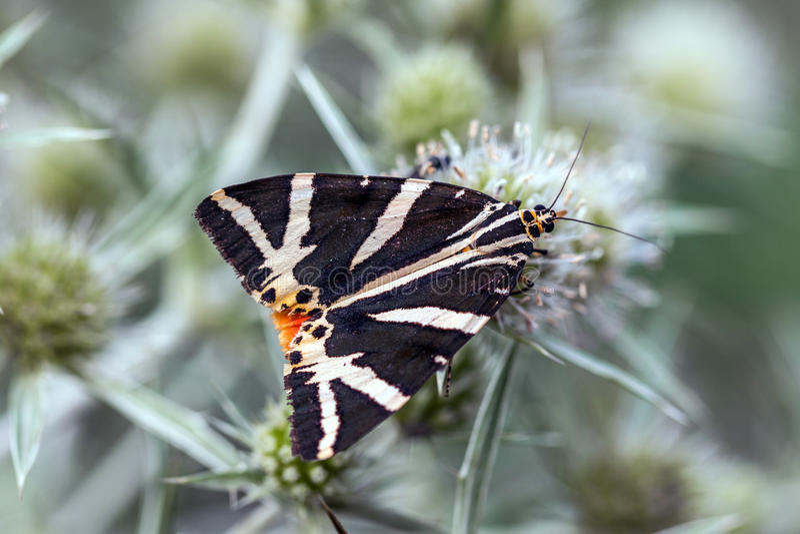 Tigre del jersey; Quadripunctaria de Euplagia; en eryngo del campo imagen de archivo