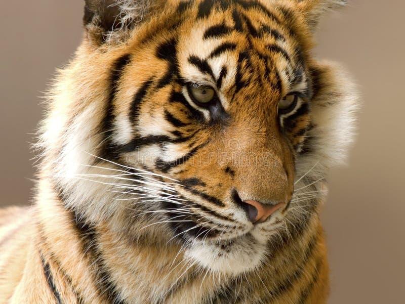 Tigre del primo piano immagine stock immagine di calma for Piani principali del primo piano