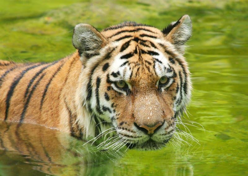 Tigre dell'Amur in acqua immagini stock
