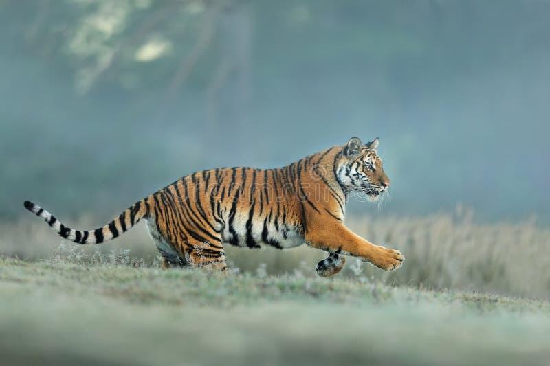 Tigre dell'Amur che corre nell'habitat naturale Tigre siberiana, altaica del Tigri della panthera Priorit? bassa per una scheda d fotografia stock libera da diritti