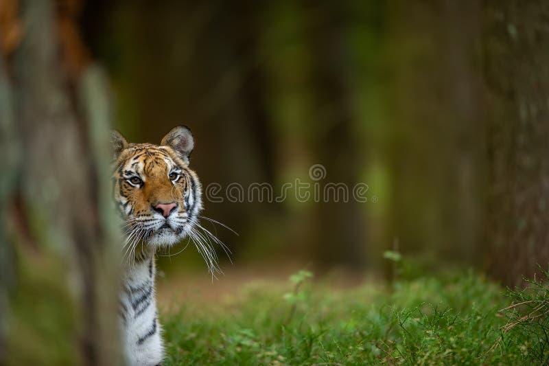 Tigre dell'Amur che guarda i dintorni nell'animale pericoloso selvaggio della foresta Tigre siberiana, altaica del Tigri della pa immagini stock