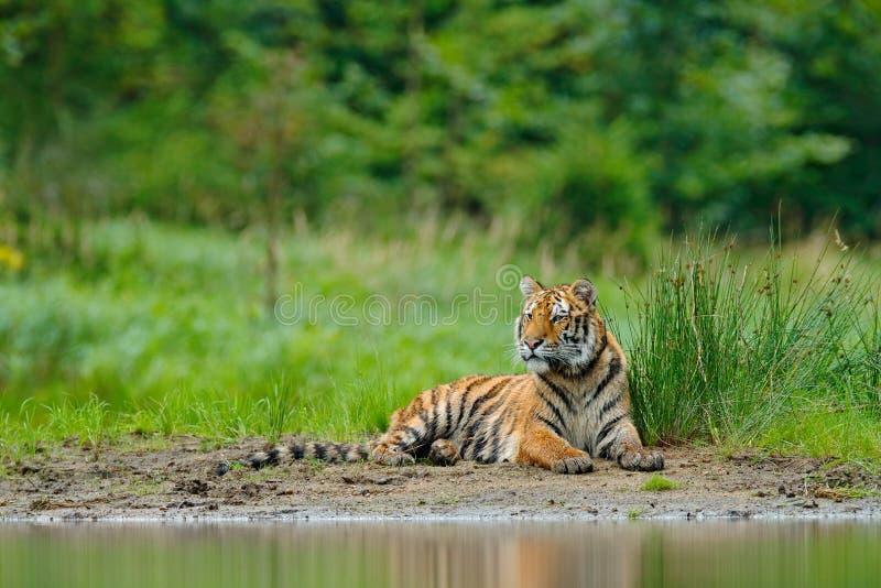 Tigre dell'Amur che si trova vicino all'acqua del lago Animale del pericolo, tajga, Russia Animale nella corrente verde della for immagine stock