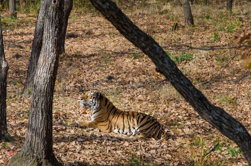 Tigre dell'Amur nel parco di safari immagini stock libere da diritti