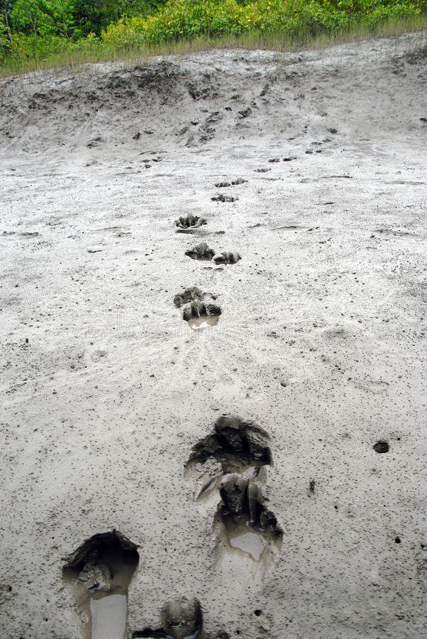 Tigre della foresta di Sundarban immagine stock libera da diritti