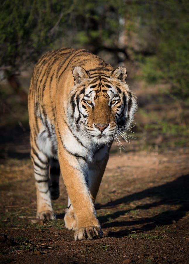 Tigre descendant un chemin photographie stock libre de droits