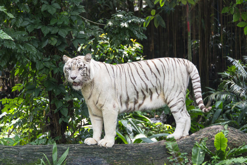 Tigre di Bengala bianca fotografie stock libere da diritti