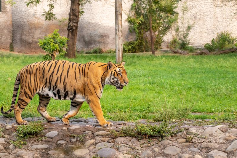 Tigre di Bengala che cammina nel parco zoologico immagini stock libere da diritti