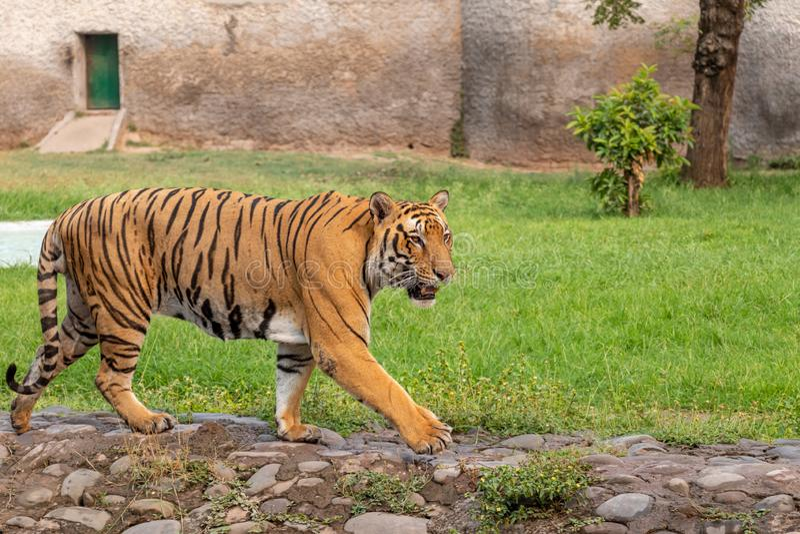 Tigre di Bengala che cammina nel parco zoologico fotografia stock
