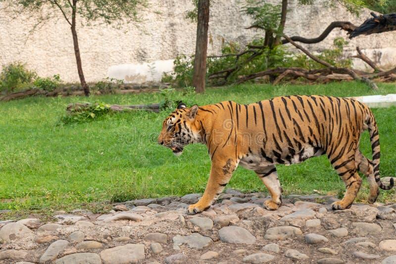 Tigre di Bengala che cammina nel parco zoologico fotografie stock