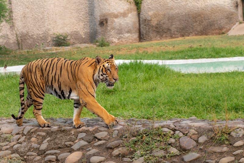 Tigre di Bengala che cammina nel parco zoologico fotografia stock libera da diritti