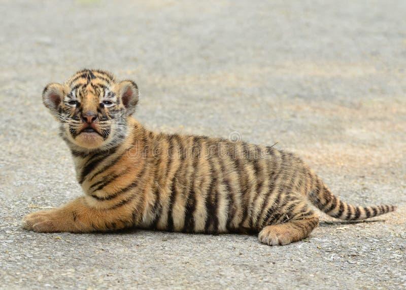 Download Tigre Di Bengala Del Bambino Immagine Stock - Immagine di creatura, nero: 30828649