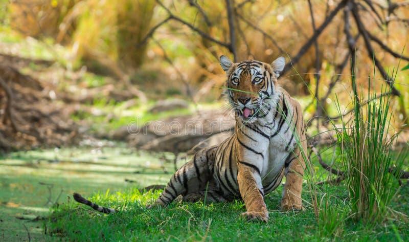 Tigre di Bengala femminile dopo l'uccisione rientrare caro macchiato nell'ombra del corpo dell'acqua e dell'albero raffreddarsi i fotografia stock