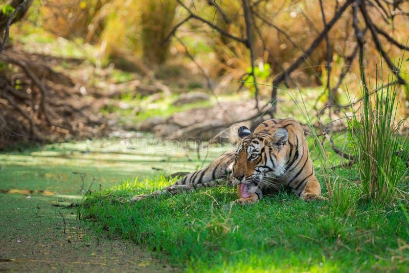 Tigre di Bengala femminile dopo l'uccisione rientrare caro macchiato nell'ombra del corpo dell'acqua e dell'albero raffreddarsi i fotografie stock