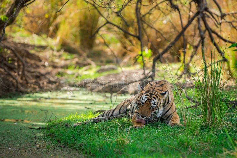 Tigre di Bengala femminile dopo l'uccisione rientrare caro macchiato nell'ombra del corpo dell'acqua e dell'albero raffreddarsi i immagini stock