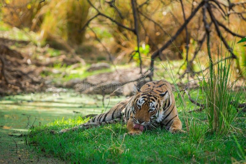 Tigre di Bengala femminile dopo l'uccisione rientrare caro macchiato nell'ombra del corpo dell'acqua e dell'albero raffreddarsi i fotografie stock libere da diritti