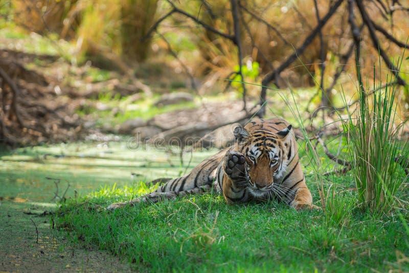 Tigre di Bengala femminile dopo l'uccisione rientrare caro macchiato nell'ombra del corpo dell'acqua e dell'albero raffreddarsi i immagini stock libere da diritti