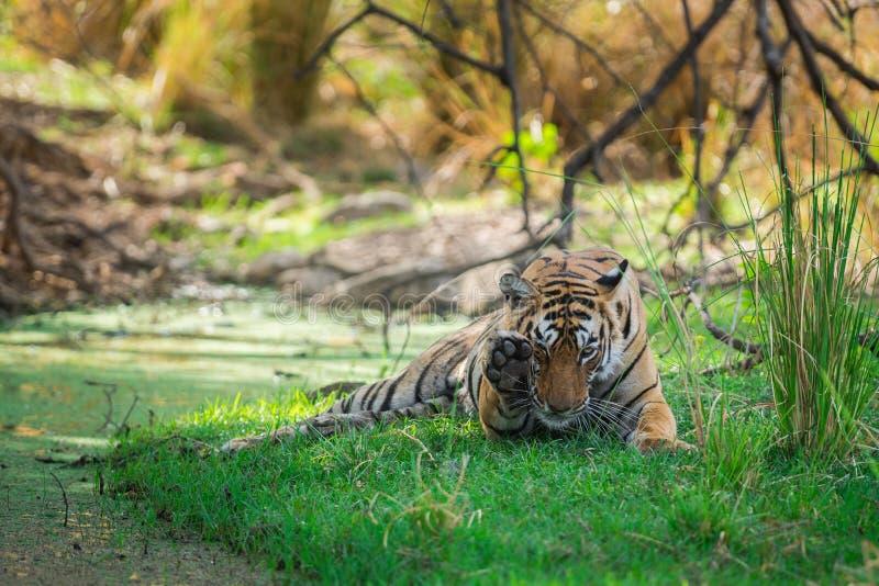 Tigre di Bengala femminile dopo l'uccisione rientrare caro macchiato nell'ombra del corpo dell'acqua e dell'albero raffreddarsi i immagine stock