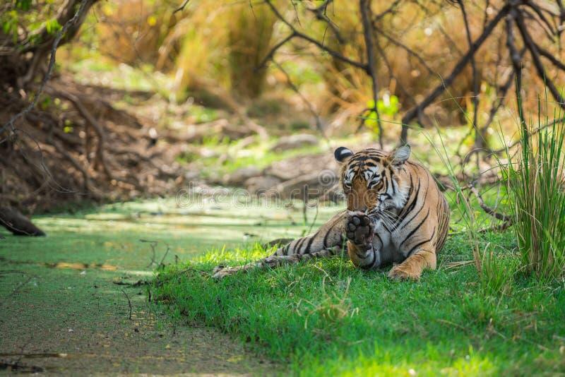 Tigre di Bengala femminile dopo l'uccisione rientrare caro macchiato nell'ombra del corpo dell'acqua e dell'albero raffreddarsi i immagine stock libera da diritti