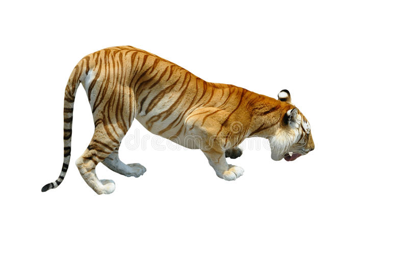 Tigre di Bengala isolata su bianco fotografie stock
